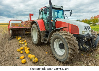 Farmer harvest pumpkins with harvester
