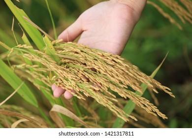 Farmer harvest rice at paddy field