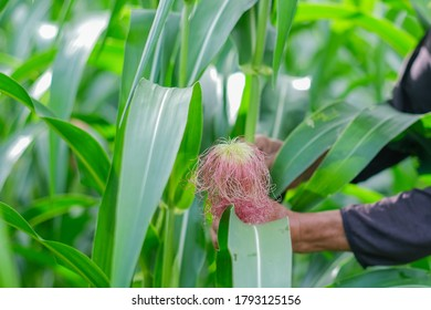 Farmer harvesting baby corn on commercial farm.