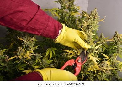 Farmer Is Harvesting Cannabis Flower, Cultivation of marijuana , flowering cannabis plant as a legal medicinal drug, herb, ready to harvest