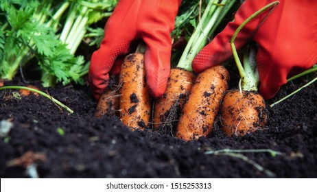 A farmer harvesting carrots. A woman gardener in red rubber gloves pulls (digging) a carrot out of the ground. Close up.