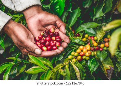 farmer harvesting coffee