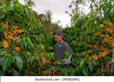 farmer harvesting coffee in a plantation of Guatemala.