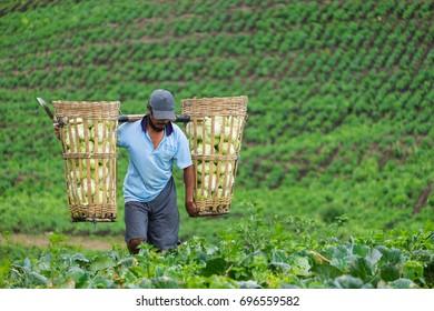 Farmer harvesting fresh organic cabbage from garden in Sempol, Bondowoso, East Java. Photo taken on May 05, 2017