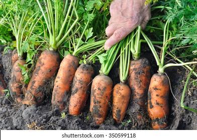 farmer harvesting fresh organic carrots in the field
