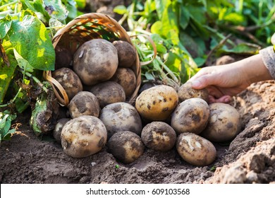 Farmer harvesting fresh potatoes in farm.