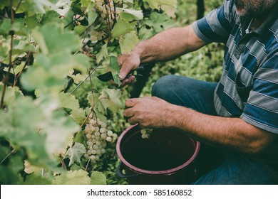 A farmer is harvesting grapes in a vineyard in Kakheti region, Georgia. Toned picture