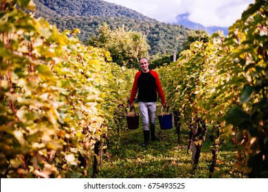 A farmer is harvesting grapes in a vineyard in Kakheti region, Georgia
