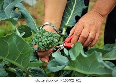 The farmer harvesting the green broccoli in the garden, Winter GA USA.