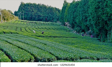 Farmer harvesting green tea during summer time.