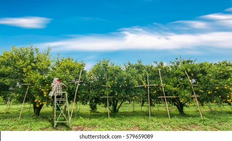 Farmer harvesting oranges In the morning.