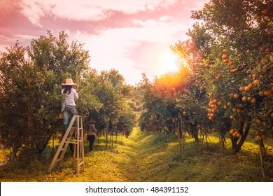 Farmer harvesting oranges in an orange tree field in morning.
