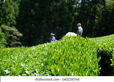 Farmer harvesting organic Japanese tea with the harvesting machine. Shizuoka is the major perfecture to produce tea in Japan.