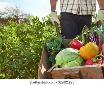 Farmer harvesting organic vegetables on a sustainable farm growing seasonal produce on a wheelbarrow