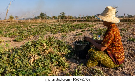 farmer harvesting peanut in the field