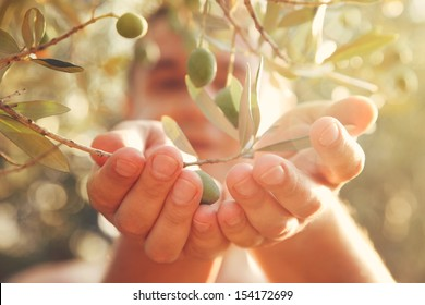 Farmer is harvesting and picking olives on olive farm. Gardener in Olive garden harvest