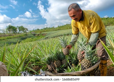 Farmer harvesting in pineapple farm , fruits field. Tanjung Pinang - Indonesia. November 24, 2019