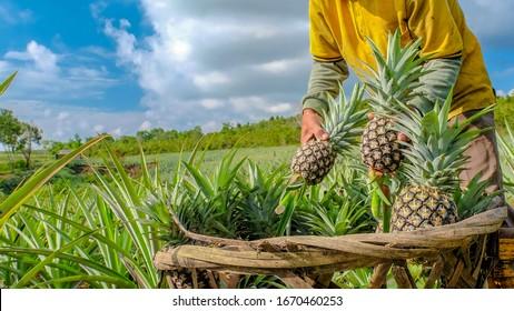Farmer harvesting in pineapple farm , fruits field.