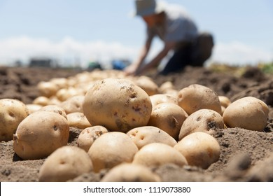 farmer harvesting potato in the farmland