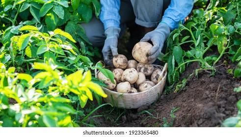 farmer harvesting potatoes in the field.