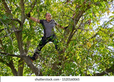 Farmer harvesting walnuts in his orchard, beating and shaking the branches
