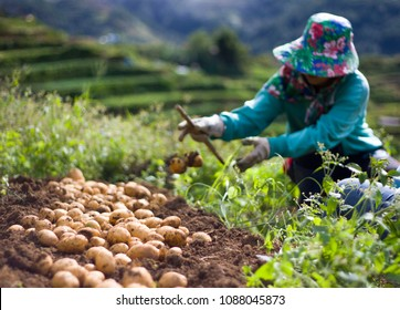 A farmer harvests her potatoes in Benguet, Philippines