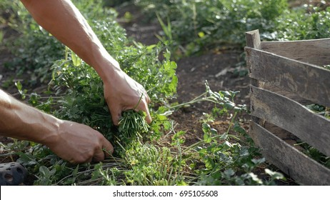 Farmer in hat harvesting fresh parsley by knife on the field of organic eco farm. Closeup of man picking greenery from land and putting it in wood box