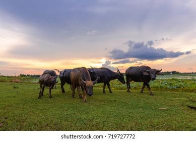 farmer he drive buffalo go home and sunrise background