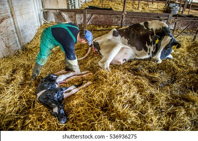 Farmer helps a cow give birth to a healthy calf in a barn