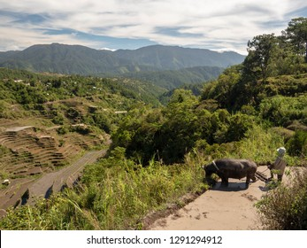 Farmer and his carabao water buffalo at the Maligcong rice terraces in Mountain Province, Philippines