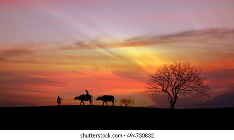 The farmer and his cows walking in the sunset light