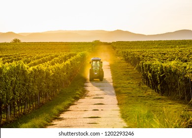 A farmer with his tractor within the vineyards during golden hour in harvest season. Concept wine industry. Scenic hills in background.