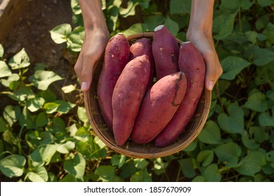 Farmer hold Fresh sweet potato product in wood basket with green leaf of sweet potato plant on background - Shutterstock ID 1857670909