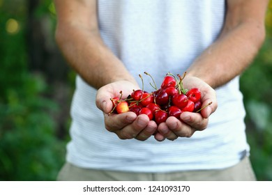 Farmer hold harvest of cherry