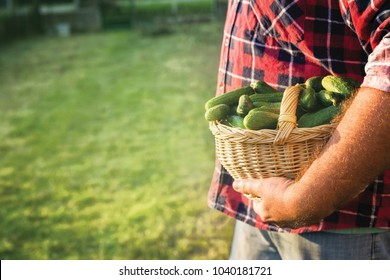 Farmer holding basket with cucumbers