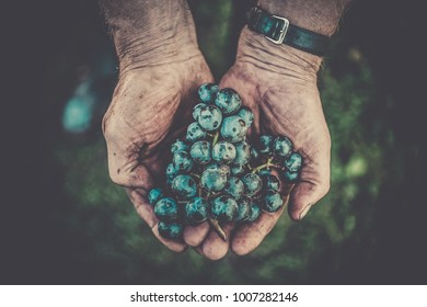 farmer is holding a bunch of grapes in his hands