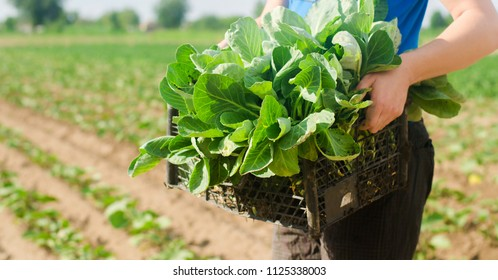 the farmer is holding cabbage seedlings ready for planting in the field. farming, agriculture, vegetables, agroindustry.