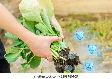 farmer is holding cabbage seedlings ready for planting in the field. farming, agriculture, vegetables, agroindustry. Innovations. Quality control, increase crop yields. Monitoring the growth of plants