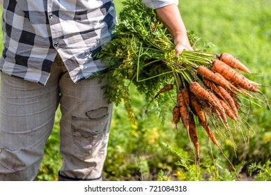 Farmer holding a carrots from the soil, bio produce from local farming, organic vegetable fresh harvested from the garden