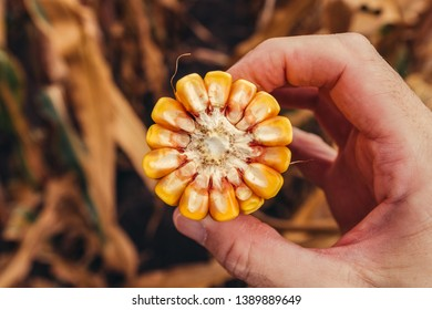 Farmer holding corn on the cob broken in half, concept of abundance and great yield after successful harvest of healthy crops