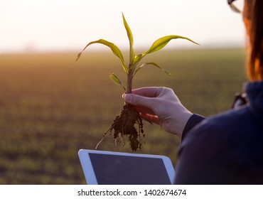 Farmer holding corn sprout with root and tablet in field and researching plant growth