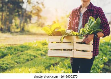 Landwirt, der im Betrieb eine Kiste Bio-Gemüse hält. Glücklicher Mann, der am Morgen eine Schachtel geerntetem Gemüse zeigt
