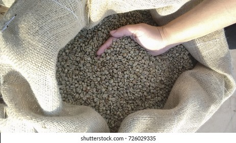 Farmer holding a dry and shelled coffee beans in Brazil