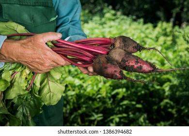 Farmer holding fresh beet. Vegetables harvest. Organic fresh harvested vegetables