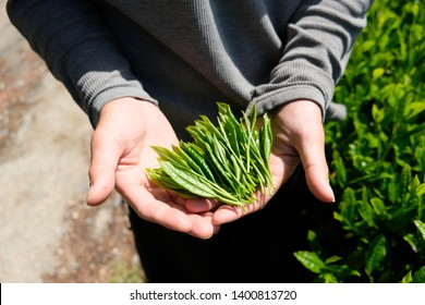Farmer holding fresh hand-picked spring tea leaves on their palm at Shizuoka, Japan.