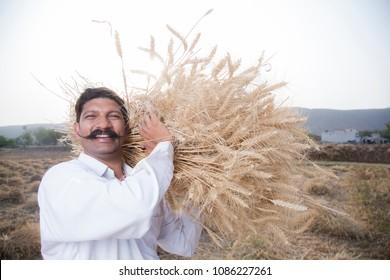 Farmer holding harvested golden wheat crops