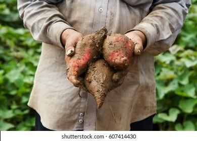 Farmer holding japanese sweet potatoes in organic farm