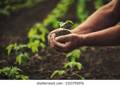 Farmer holding pepper plant in hands on field, homegrown organic vegetables.