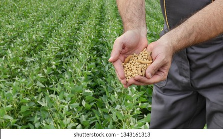 Farmer holding soybean crop in hands with soy plant field  in background, agricultural concept with selective focus