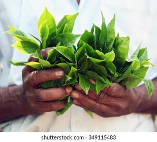 A farmer holding tea leaves on a Fairtrade smallholding near the Sri Lankan city of Kandy.